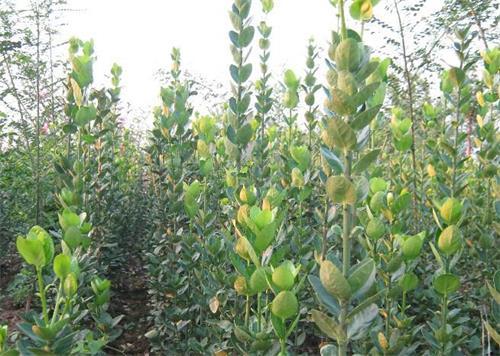 北海道批发-哪里能买到划算的北海道黄杨