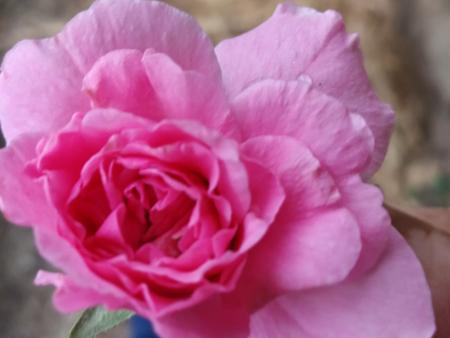 耐寒月季等大受欢迎的花卉品种就找精诚苗圃