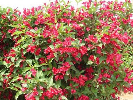 红王子锦带种植//红王子锦带批发价格