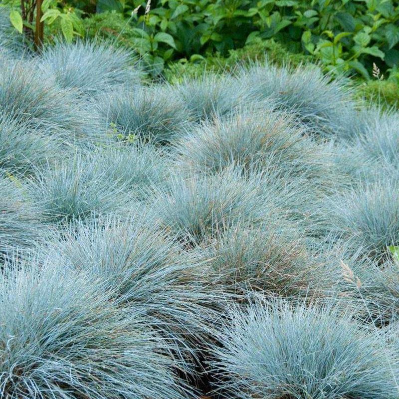 藍羊茅批發//藍羊茅種植基地