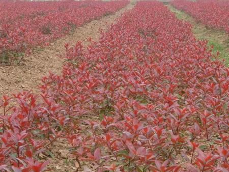 青州红叶小檗 潍坊可靠的红叶小檗批发商推荐