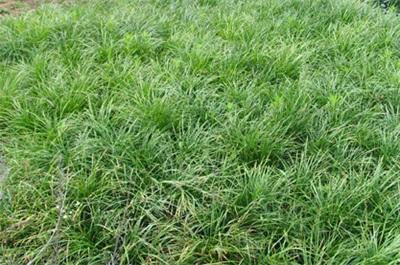 麦冬批发//麦冬种植基地