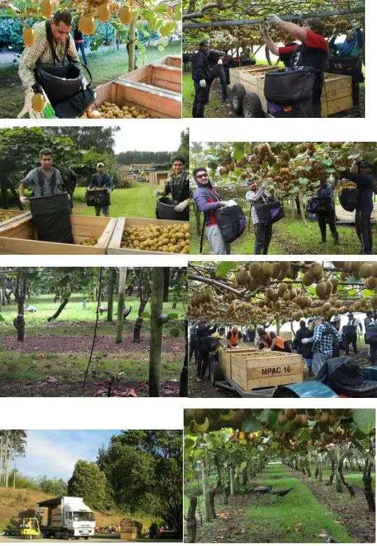 新西兰农场 采摘水果急招工人