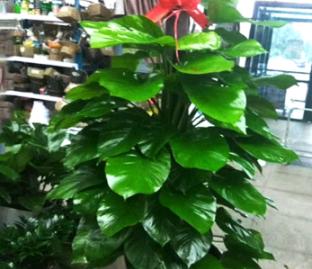 哈爾濱花卉租賃|哈爾濱花卉零售|哈爾濱綠植批發