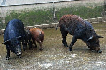 黑龙江生态野猪肉|黑龙江跑山猪|黑龙江野猪|黑龙江生态猪