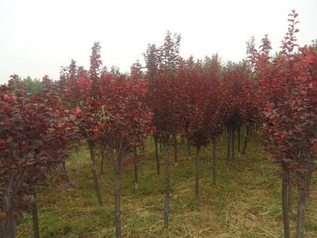 山东红叶李-供应潍坊有品质的红叶李