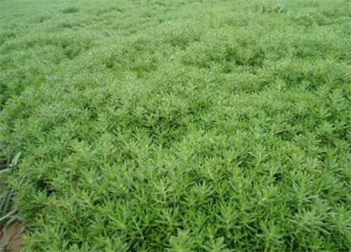 佛甲草哪里好-想买实惠的佛甲草-就到玉江花卉苗木