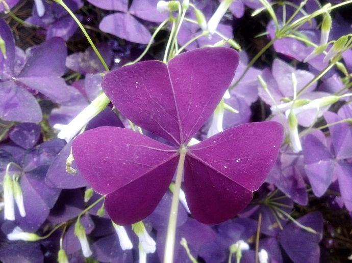 紫叶酢浆草//酢浆草基地