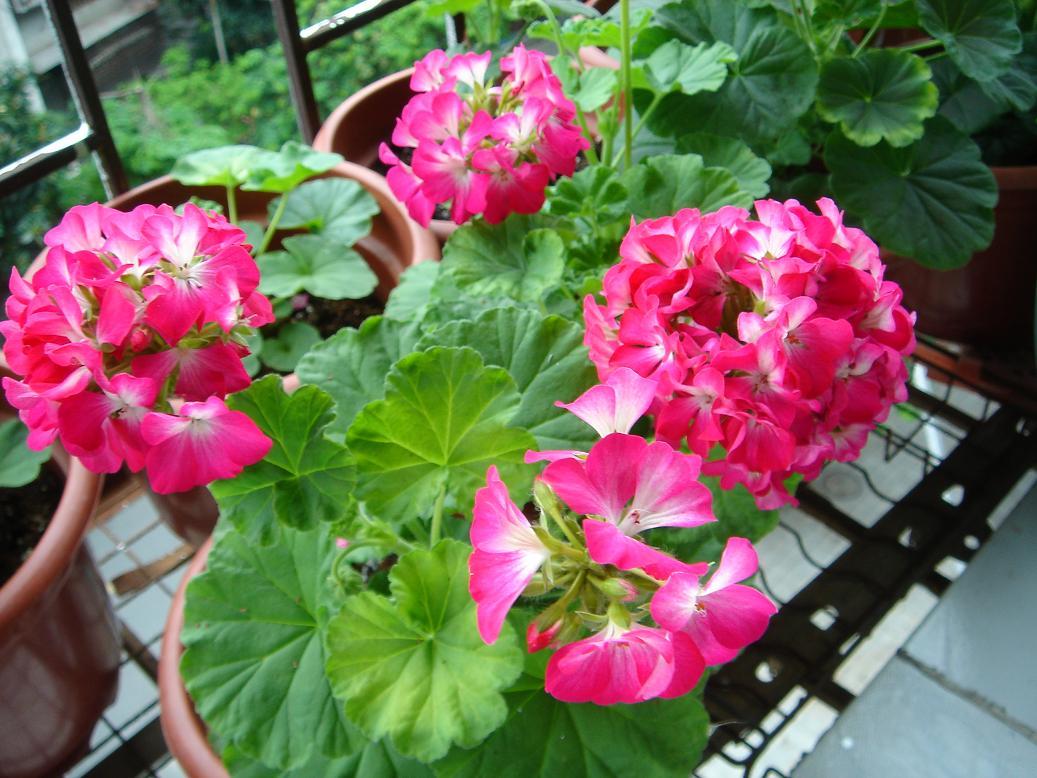 河北天竺葵|来双宇花卉苗木,买口碑好的天竺葵