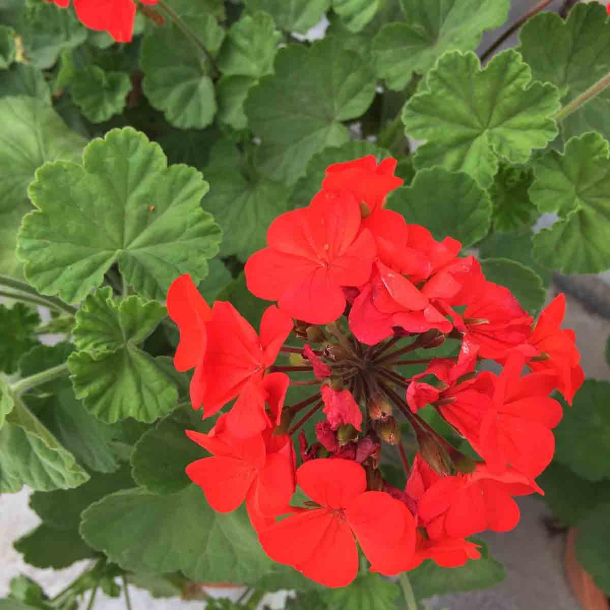 山东天竺葵|优良的天竺葵哪里有
