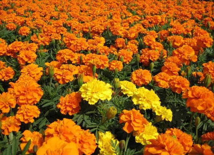 河北孔雀草供货商-知名的孔雀草供货商,当属金霆花卉苗木
