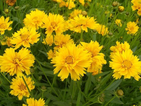 山东金鸡菊供应商 哪里能买到优良金鸡菊