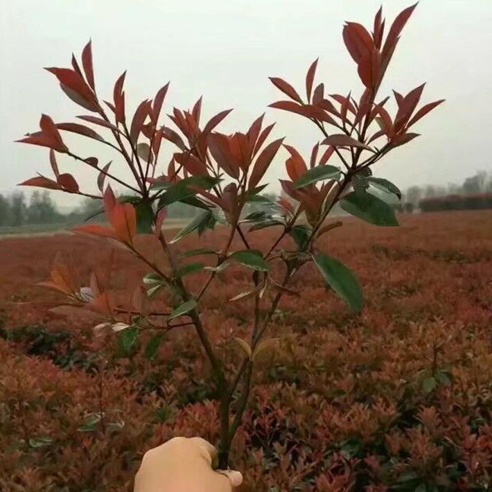 红叶石楠苗供货商-大量供应优惠的红叶石楠苗