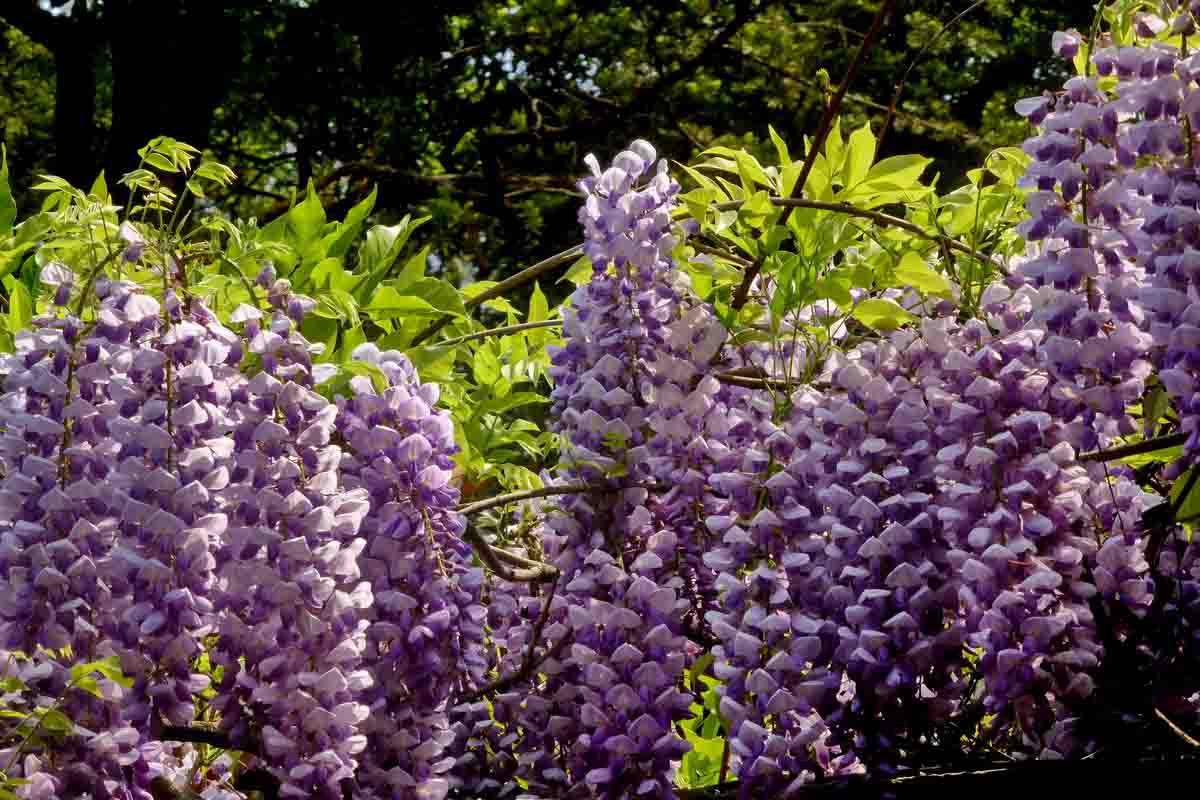 紫藤-供应各种规格紫藤