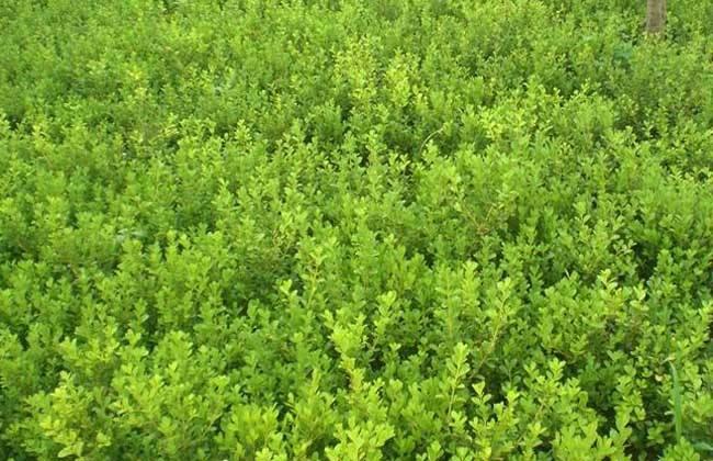 哪里有黄杨-知名的黄杨供货商,当属天卓花卉苗木