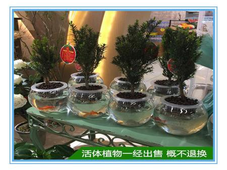 黑格斯加盟-供应品种好的红豆杉