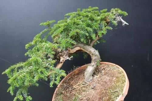 红豆杉盆栽-供应西安新品红豆杉盆景