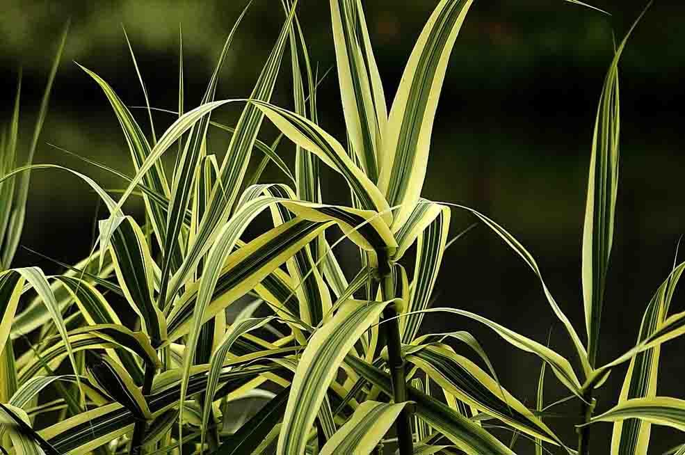 花叶芦竹报价-双宇花卉苗木有品质的花叶芦竹