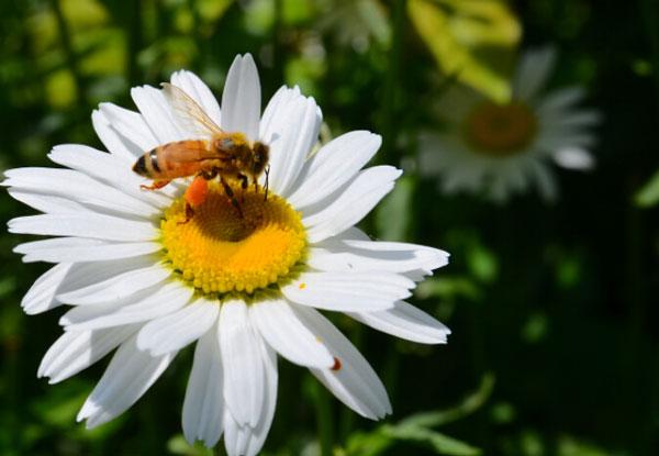 河南大滨菊-哪里能买到超值的大滨菊