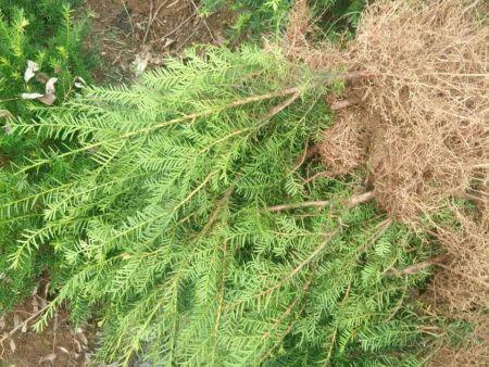 红豆杉苗哪家好?就来增贵苗圃,专业供应,种类全,质量优