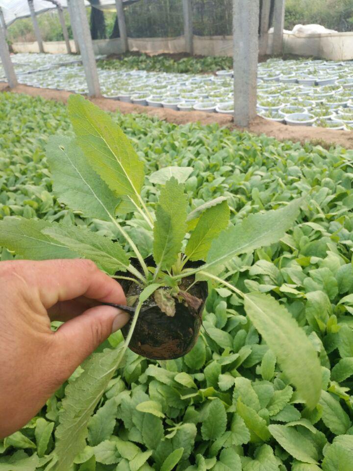 鼠尾草种植基地《天公作美》鼠尾草批发价格