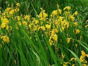 河北黄菖蒲|划算的黄菖蒲当选九艺花卉苗木