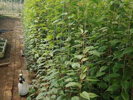 丹东软枣猕猴桃苗的运输