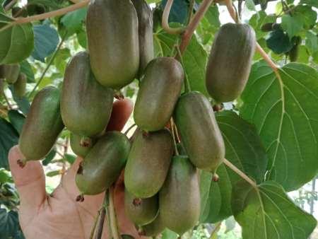 丹东软枣猕猴桃,哪家口感好到军胜农场,销量领先
