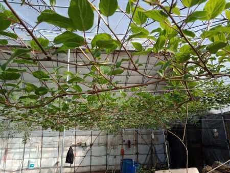 丹东软枣猕猴桃的生长特点有哪些呢?