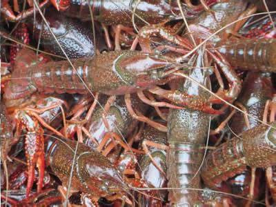 龙虾种苗哪里有