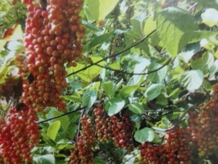 五味子果哪家好-想买抢手的五味子果-就来合兴中药材种植