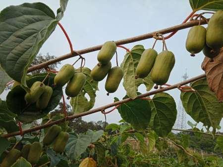 辽宁龙城二号苗:猕猴桃和奇异果到底有什么区别?