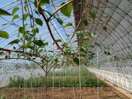 抚顺软枣猕猴桃厂家-辽宁专业的软枣猕猴桃生产基地
