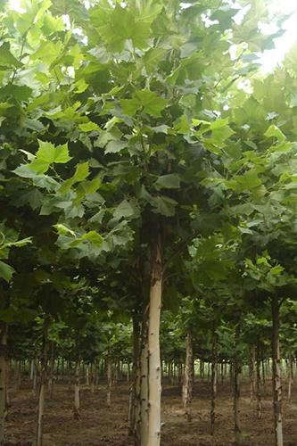 山东法桐种植基地-销量好的邢台法桐种植出售