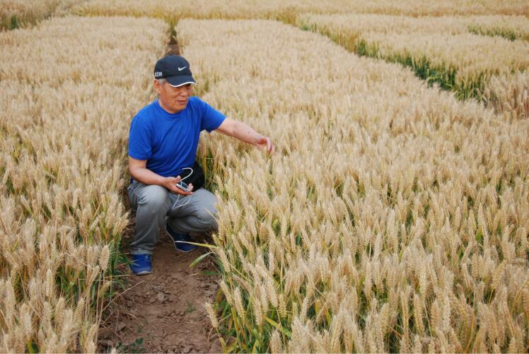 臨汾黑小麥種子批發-怎樣購買牧草種子