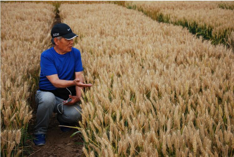 天津黑小麥種子|黑小麥種子要上哪買