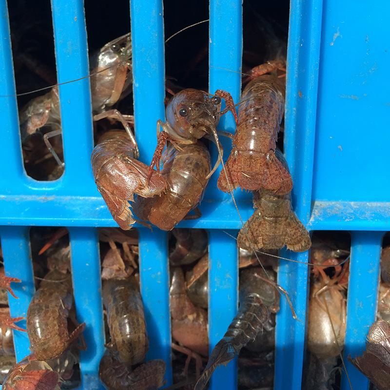小龙虾价格多少钱一斤你养我回收让你养的无忧