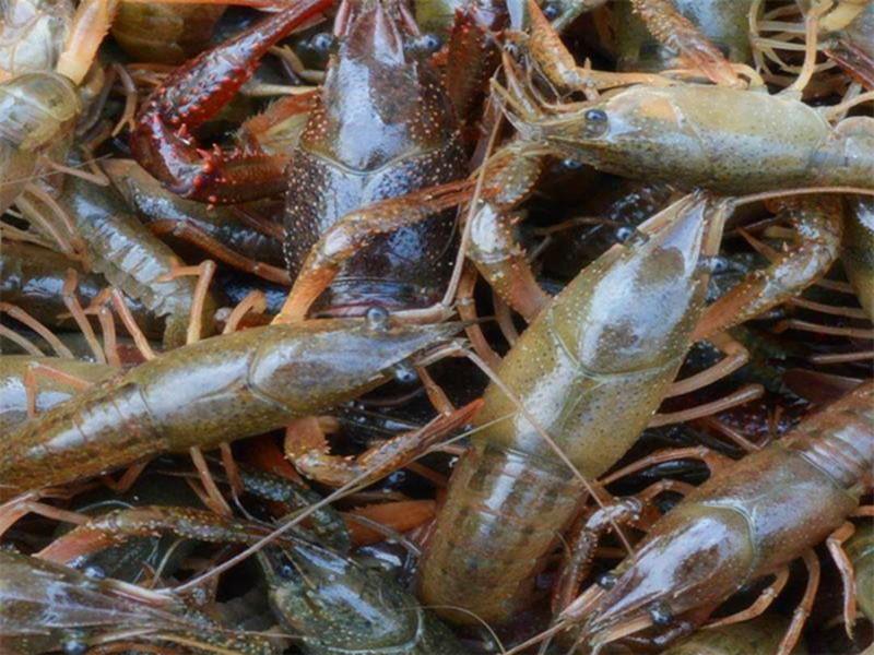 小龙虾苗价格小龙虾养殖基地价格