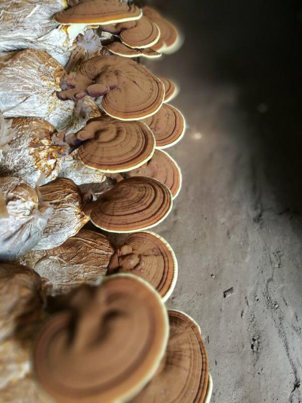 灵芝种植基地厂家批发-采购高性价灵芝就找乐农紫薯种植