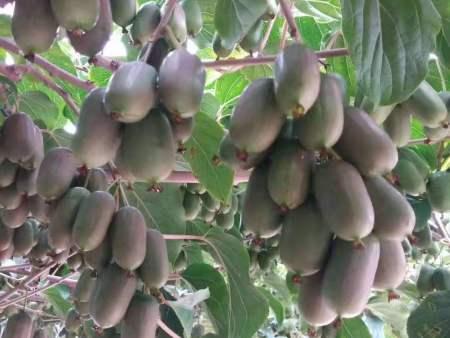 枣庄软枣猕猴桃苗|丹东韵都软枣园_软枣猕猴桃品种优异