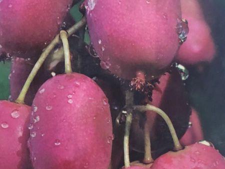 山东软枣猕猴桃批发 想要好的软枣猕猴桃就来丹东韵都软枣园