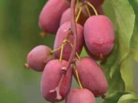 软枣猕猴桃种植基地-软枣猕猴桃种植当选丹东韵都软枣园