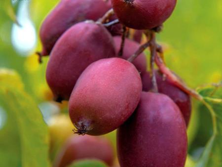 软枣猕猴桃种植基地-品种好的软枣猕猴桃种植推荐