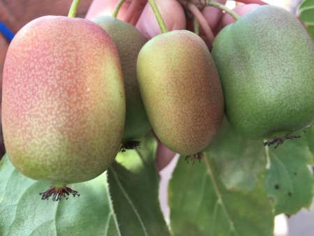 软枣猕猴桃树苗价格|哪里能买到成活率高的软枣猕猴桃树苗