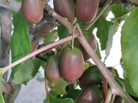 烟台软枣猕猴桃树苗-供应品种好的软枣猕猴桃树苗