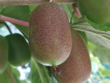 德州软枣猕猴桃树苗-辽宁软枣猕猴桃树苗推荐