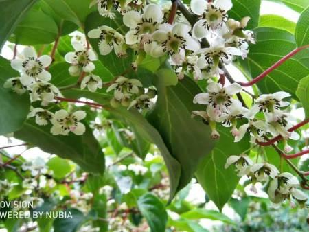 保定软枣猕猴桃繁育基地-哪里有供应软枣猕猴桃繁育基地