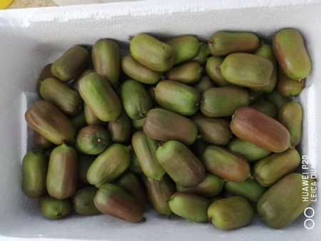 济南软枣猕猴桃繁育基地_销量好的软枣猕猴桃繁育基地出售
