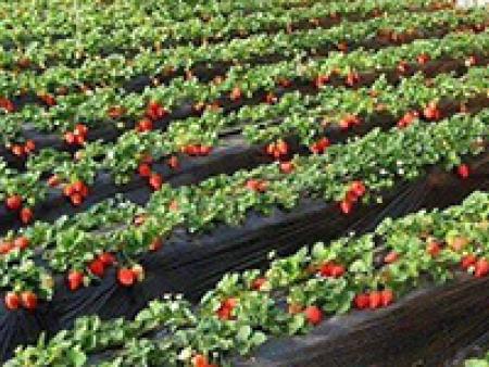 大連草莓苗哪家好-在哪能買到質量好的草莓苗