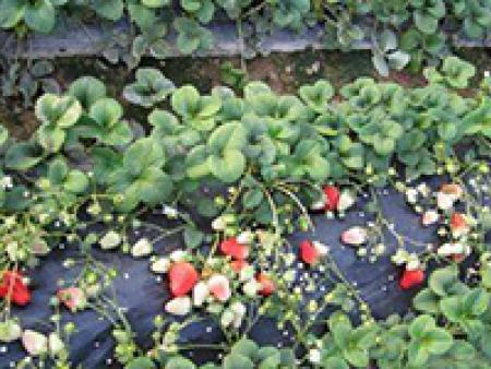 佳木斯草莓苗哪家好-丹东品种好的草莓苗供应